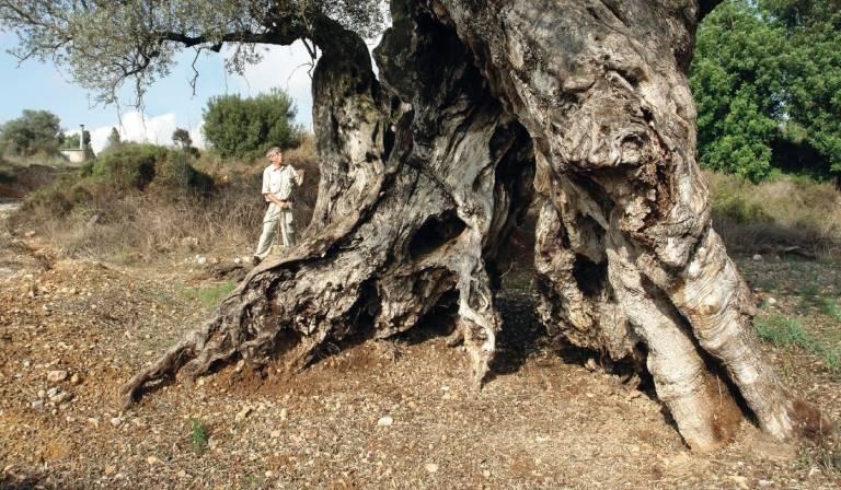 Olivos de castell n el secreto del paisaje milenario for Viveros de olivos
