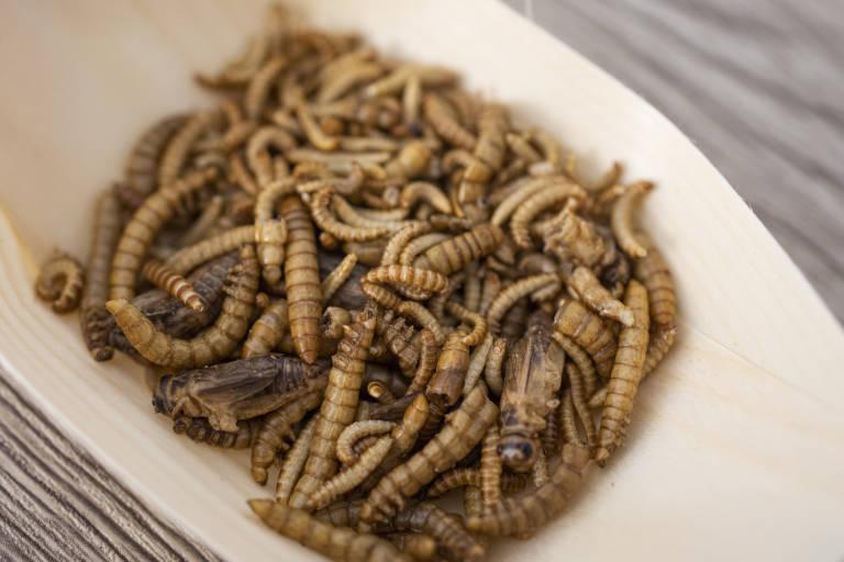 gusano de la carne de res